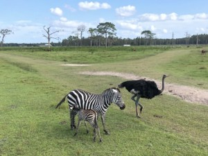 Safari in Florida